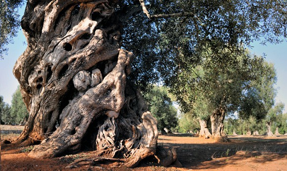 Park of the ancient olive trees